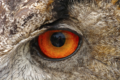 European Eagle Owl Eye...